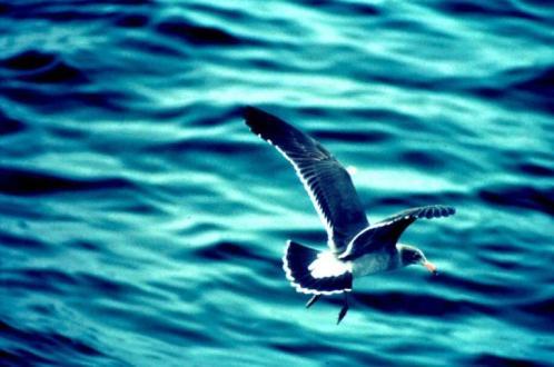 immature-california-gull-fliying-over-water-725x481
